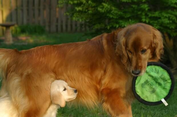 собака породы золотистый ретривер. фото