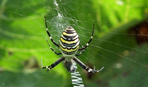 ВТатарстане появился паук-оса. Опасенли он?