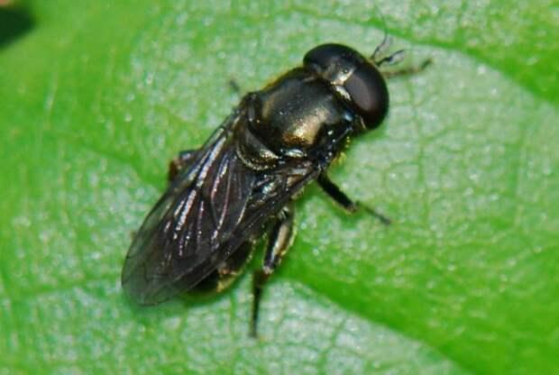Луковая муха-журчалка