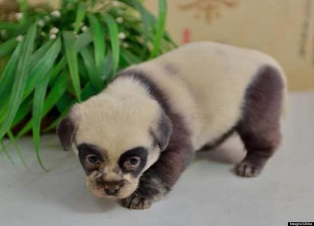 Китайское чудо – щеночки-панды
