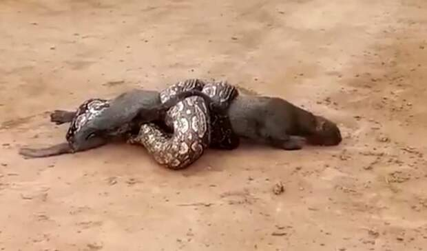 Дикая кошка, обвитая питоном, спасена местными жителями