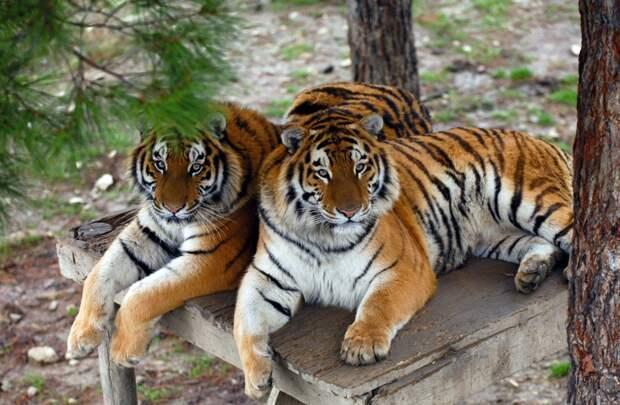 В России рассказали об успехах в восстановлении численности амурских тигров