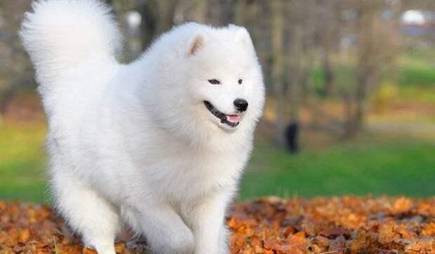 Самоедская собака больших, бульдог, до маленьких, питомец, породы, собак, такса
