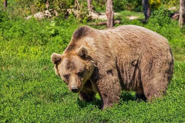 «Он — хищник, вы — добыча»: как выжить при встрече с медведем в лесу