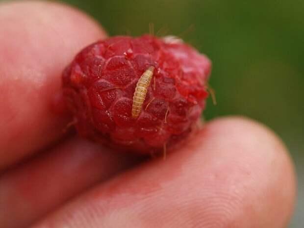 Как повысить урожайность малины: доступное средство из домашней аптечки