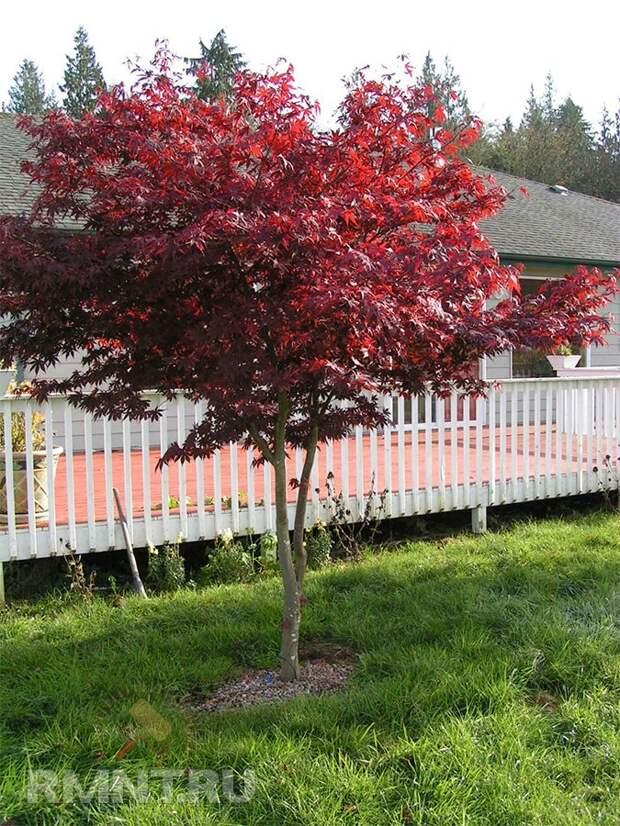 Тенистые деревья для вашего участка