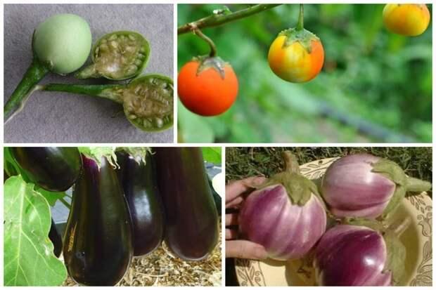 Баклажан интересное, овощи, происхождение, факты