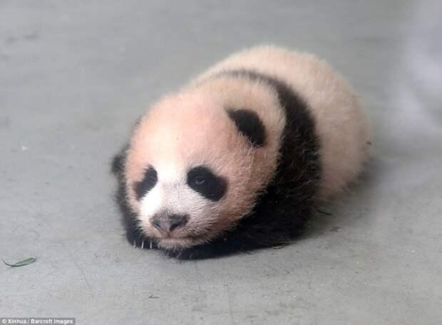 На этом фото Арахису еще нет и 2 месяцев Панда видео, панда учится ходить, панды
