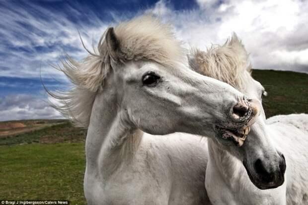 Дикие лошади Исландии в игривом настроении животные фотографии, лошадь