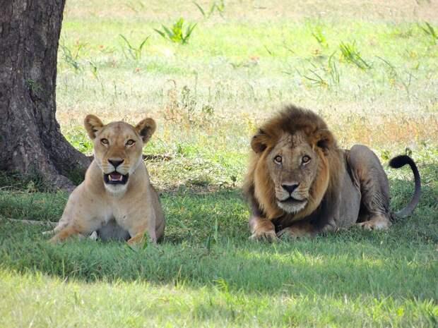 В Лос-Анджелесе в один день усыпили пару старых львов