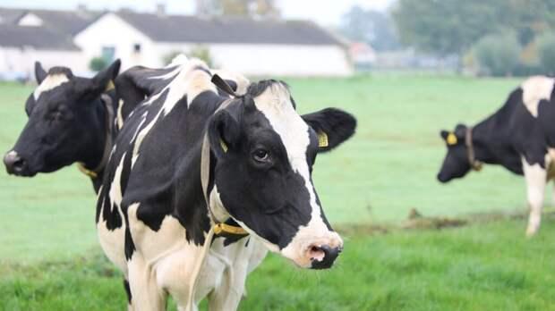 Гипоаллергенное молоко от клонированных коров уже не фантастика, а ближайшее будущее