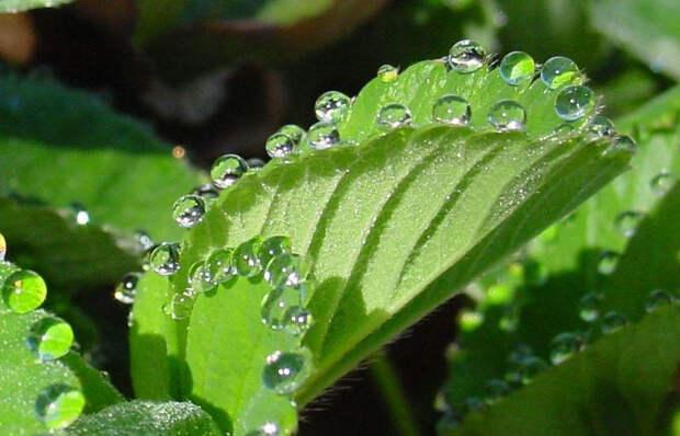 Красивые капли: 12 примеров гуттации