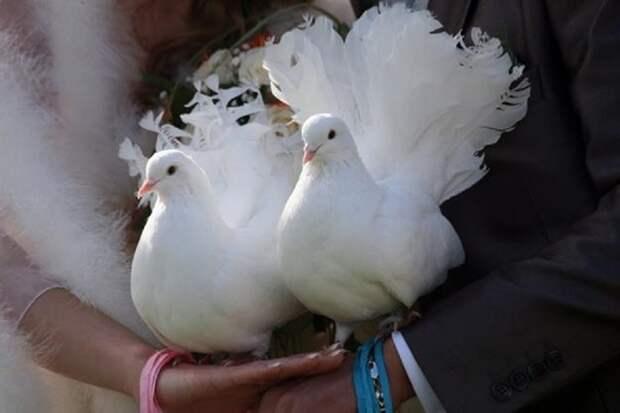Свадебные голуби «на счастье».