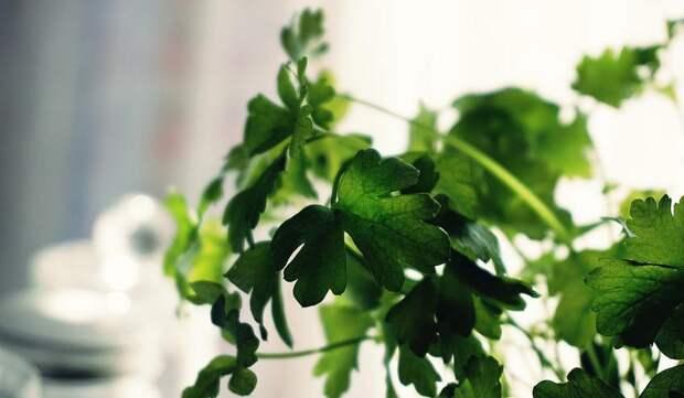 Как правильно выращивать кориандр: надаче идома