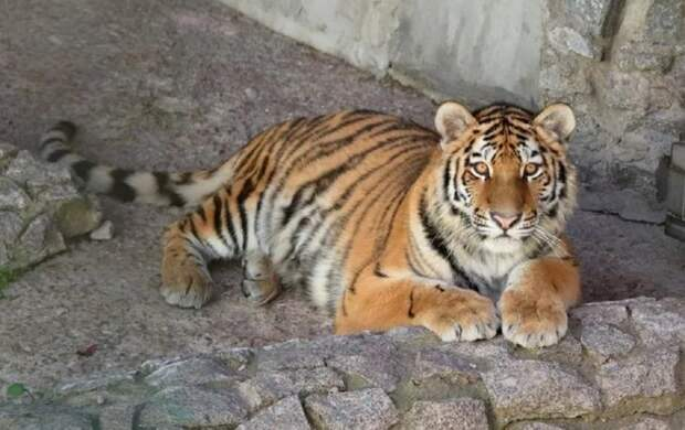 В Ленинградском зоопарке поселилась тигрица Виола