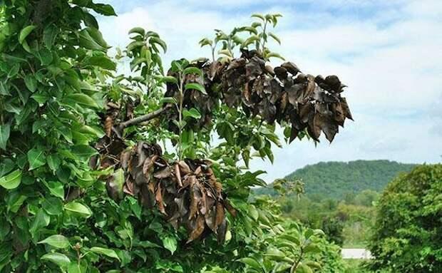 Вредители груши на листьях и меры борьбы с ними
