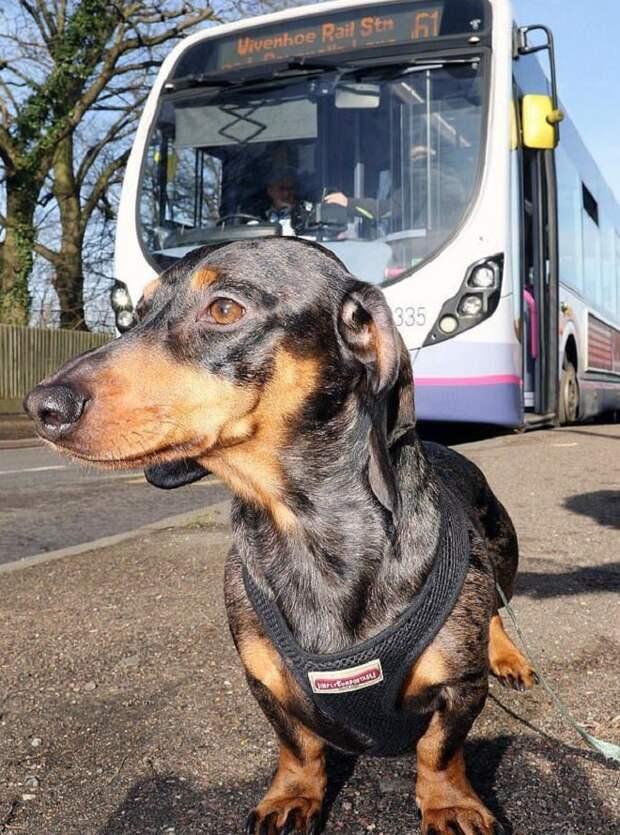Собака и автобус