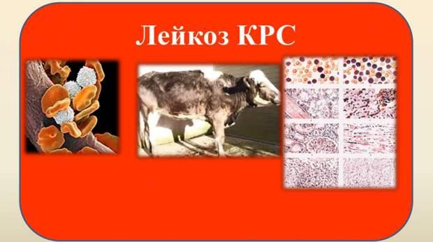 Госкомветеринарии Крыма информирует об опубликовании новых ветеринарных правил, предусматривающие проведение мероприятий по профилактике и ликвидации лейкоза крупного рогатого скота