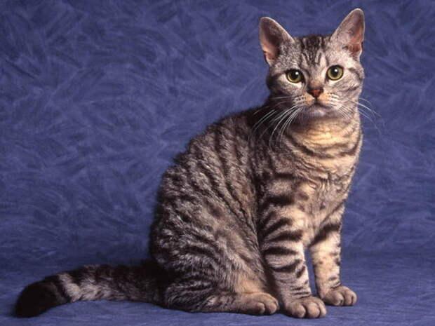4 место. Американская жесткошёрстная кошка. домашние животные, кошки, породы кошек, самые редкие