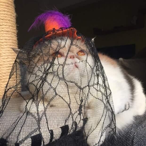 Как говорят, эта черта кошек данной породы значительно облегчает их одевание Буона, Стиль, домашние питомцы, животные, кошка, милота