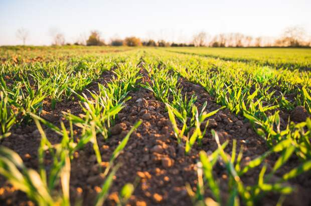 Посевы в Удмуртии высыхают из-за продолжительной жары