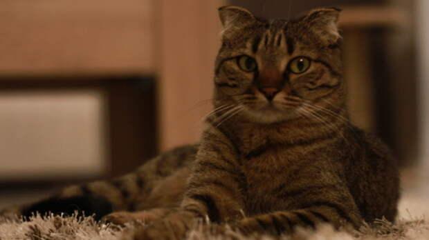 Тюменцы предупреждают онедобросовестных заводчиках кошек
