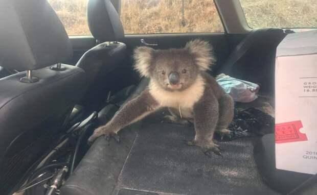 Австралийская коала из-за жары села за руль