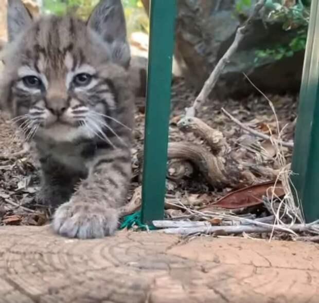 Любопытный котенок рыси чуть не познакомился с садовником