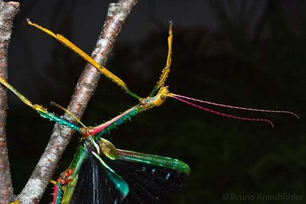 Природные фантомы - привиденьевые насекомые, палочники, привиденьевые