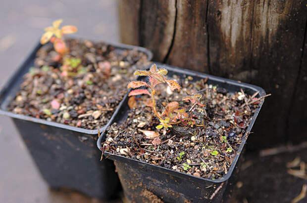 Капризный рододендрон. Как вырастить роскошный куст из семечки