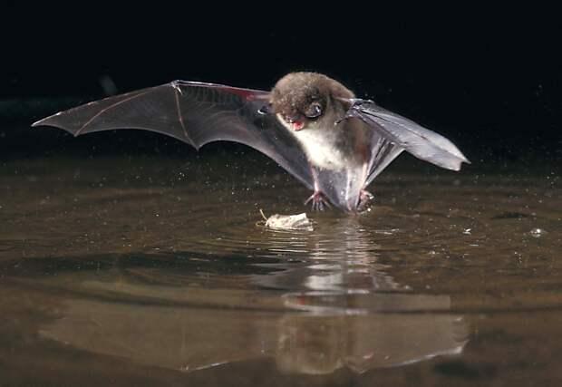 Прудовая ночница: Летучие мышки с чердака в деревне. Как это чудо выживает в наших условиях?