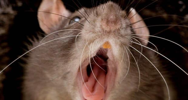 14946152887868 170215 warshaw rats tease sqbg3w