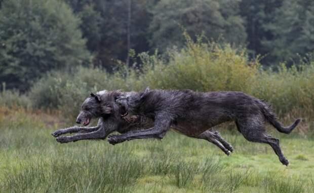 Ирландский волкодав: Истребитель волков и одна из крупнейших пород собак. Безопасен для человека, но смертелен для животных