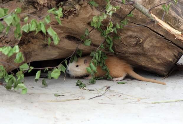 Фото дня: в нижегородском зоопарке «Лимпопо» на свет появились детеныши нутрии