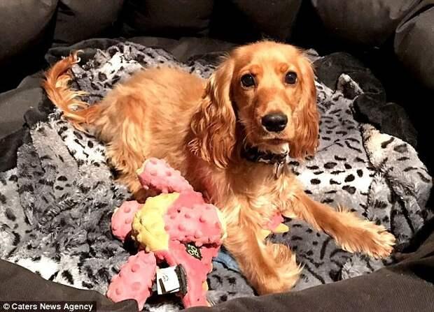 Ветеринары до сих пор удивляются, что Ванда не только научилась передвигаться на инвалидной коляске, но еще и занимается плаванием  инвалид, коляска, собака