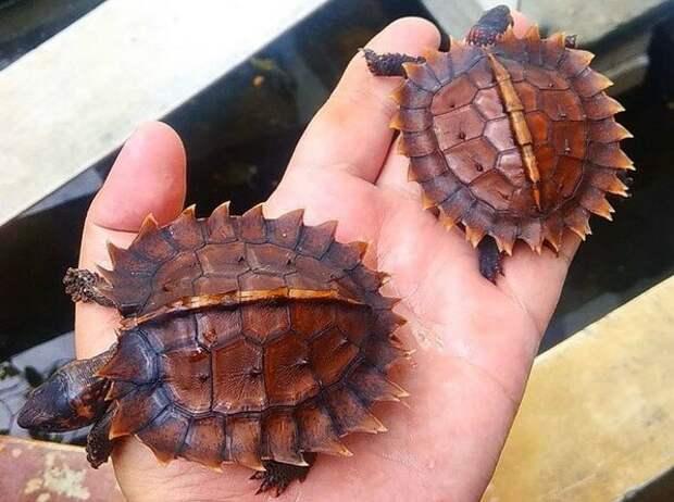 Колючая черепаха: Бритвенно острые сюрикены. Зачем рептилиям лезвия на панцире?