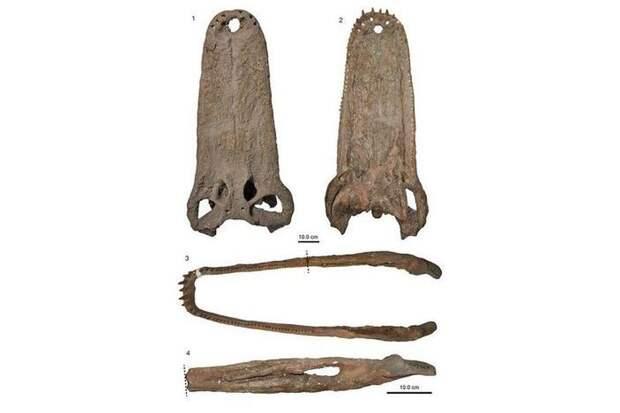 Моуразух (лат. Mourasuchus) — крокодил из реки До Моура