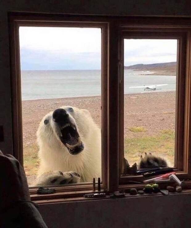 Что делать, если белый медведь пришел в гости