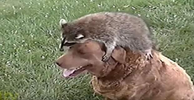 Енот выбрал себе любимчика среди собак