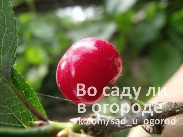 Черевишня – гибрид вишни и черешни для Средней полосы