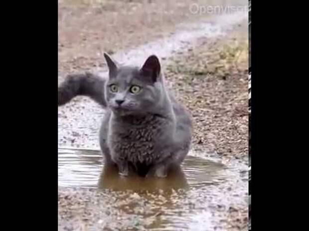Кот купается в луже