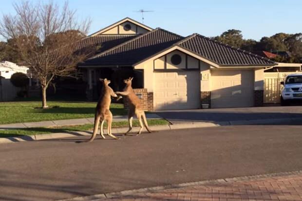 А у кафе «Метелица» два кенгуру метелятся...