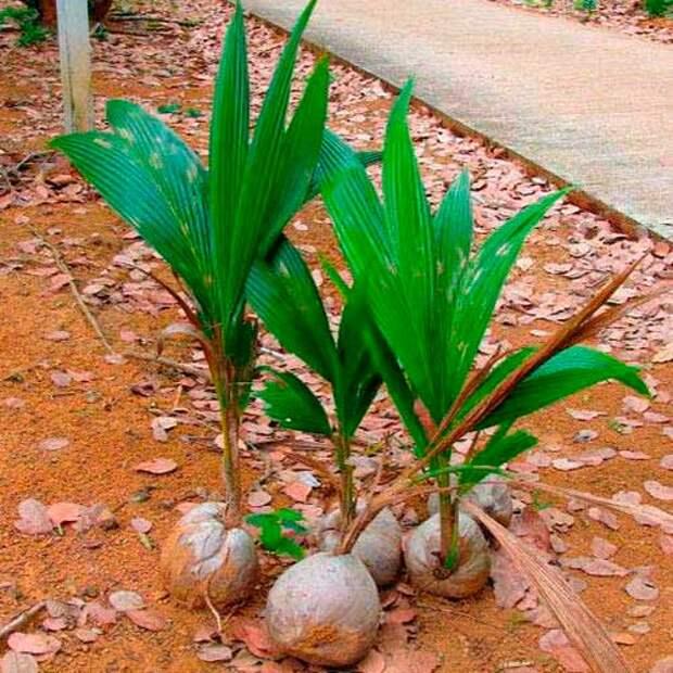 Комнатное растение Кокос (Cocos)