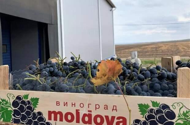 Молдова резко увеличила экспорт винограда