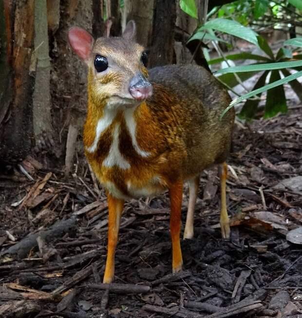 Javamousedeer05 Канчиль   удивительный олень малютка из тропиков