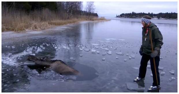Спасение лося из плена замёрзшей воды видео, животные, лось, спасение