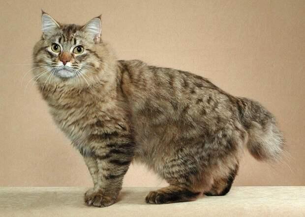Самые редкие породы кошек.Топ-10 домашние животные, кошки, породы кошек, самые редкие