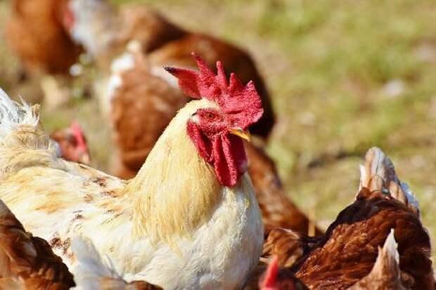 В Тамбовской области мошенник завладел деньгами под предлогом продажи кур