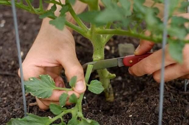 Удаление листьев помидоров: как не навредить?