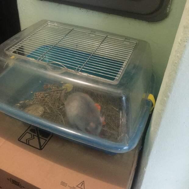Домашнюю крысу оставили в подъезде на улице Маршала Тухачевского